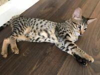 2 stunning Tica Registered kittens ready now