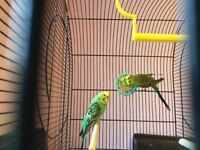 2 budgies cage and accessories