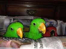 ECLECTUS PARROTS HANDRAISED Bowral Bowral Area Preview