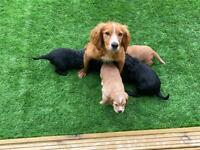 Cocker spaniel puppy's full pedigree