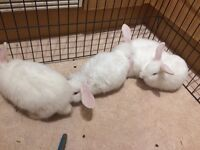 4 white, blue eyes mini lop rabbits for sale