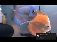 5-6 inch Discus tropical peaceful community fish