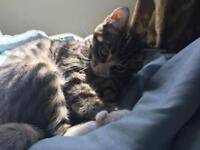 13 week old shorthair tabby and white female (with white paws) kitten looking for a new home.