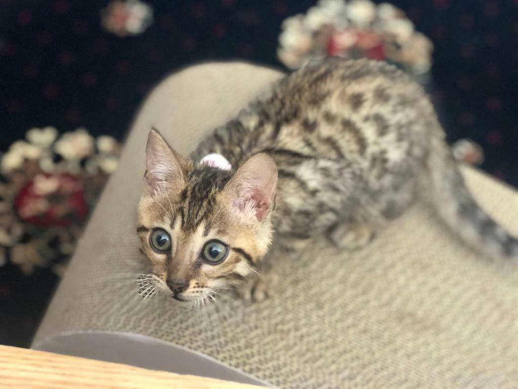 Female Bengal Kitten In Ealing London Gumtree