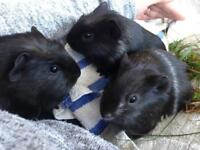 3 male guinea pigs in need of loving home