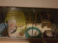 dwarf hamster Roborovsky