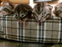 Beautiful silver Bengal kitten