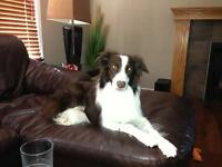 LOST/STOLEN BORDER COLLIE