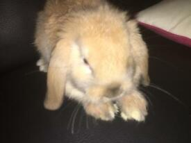 Lopped earred baby rabbit