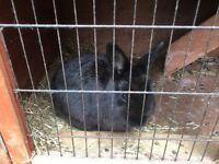 Large rabbit hutch and 2 black rabbits