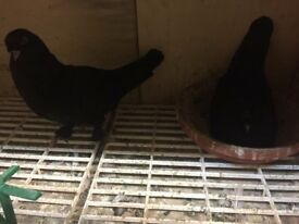 Black of balck turkish takla pigeons for sale