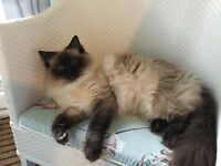 Sad Sale of female ragdoll 1.5 yo