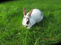 RABBIT FOR SALE FOUR MONTHS OLD STUNNING AND FRIENDLY FEMALE LOP CROSSED ENGLISH