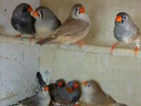 Mutation zebrafinches