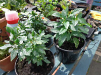 2 chilli plants for sale flowering and with fruit