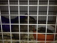 2 male degus- including cage, food, hay, cleaning dust, bath and toys etc...