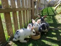 Very cute baby rabbits Angora + Lop mix
