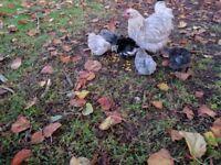 Splash Pekin hen and 5 chicks