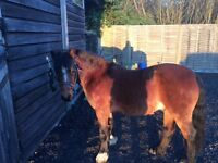 Pony for sale 12hh gelding 9years £800