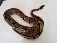 Male adult normal royal (ball ) python / snake