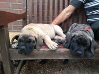 Pure bred Presa Canario puppies ready for a home