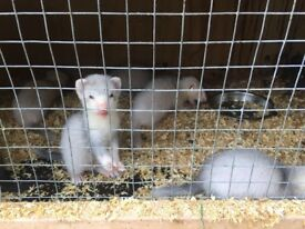 Ferret kits for sale