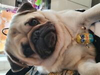 Adorable Male pug needs rehoming
