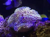 Anemones For Sale