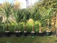 1 Left. Over 6ft height lovely and established hardy Green Cordylines