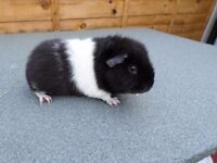 Baby Female Guinea Pig