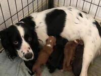 Pedigree cocker spaniel puppies for sale