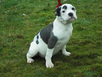 2 Blue Pied Old Tyme Bulldogs