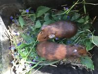 Pretty Guinea piglets 8 weeks old -2 sows, 1 boar, smooth haired, dark eyes