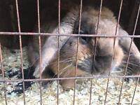 Free to good home male rabbit