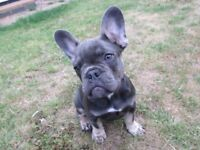 KC REGISTERED WITH 5 GENERATION PEDIGREE BLUE AND TAN MALE FRENCH BULL DOG PUPPY
