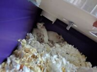 Three mice in desperate need of a new, loving home.