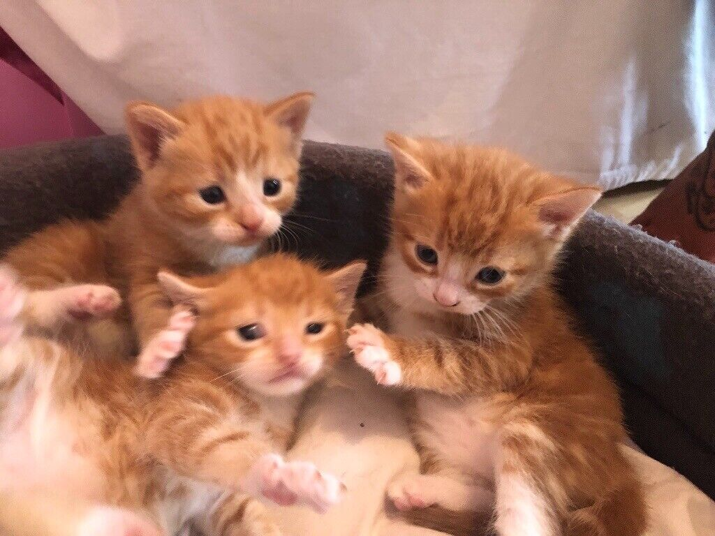 Persian Crossed Adorable Kittens In Greenwich London Gumtree