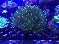 Marine fish tank torch coral
