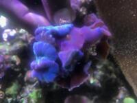 Marine Coral purple mushroom around 10 heads