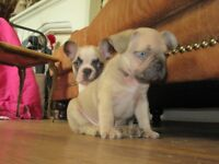 2 KC Registered French bulldog pups