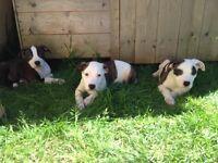 American bulldog X Staffordshire bullterrier puppies