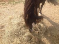 Traditional gypsy cob x gelding 2 years old for sale