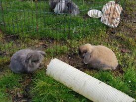 2 pairs of bonded rabbits