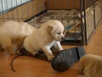 GOLDADOR puppies for sale