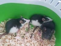 3 females rats