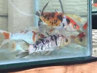 Quality grade A koi carp cold water pond fish