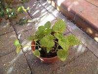 lemon balm plants in a 9 cm pot