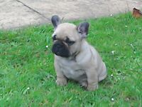 Stunning French bulldog puppy