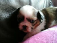KC REGISTERED SHIH TZU PUPPIES FOR SALE
