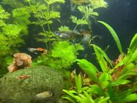Guppy Endlers available with live plants £1.00/full size, £0.50 fry